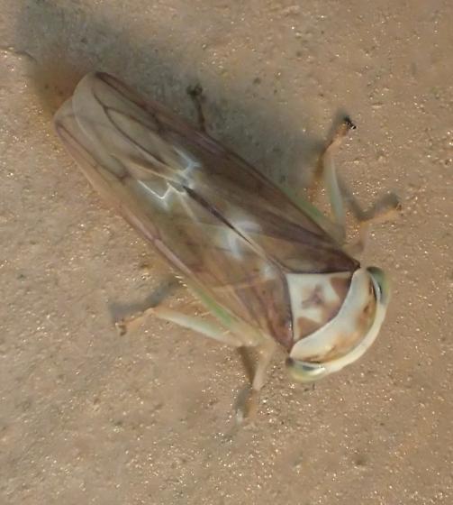 Idiocerus formosus (?) - Idiocerus formosus