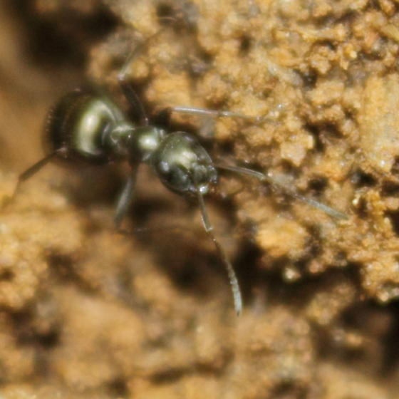 Formica fusca - Formica subsericea - female