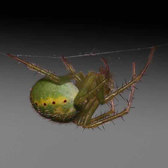 Spider - Araneus cingulatus