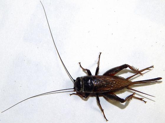 Field Cricket - Gryllus - female