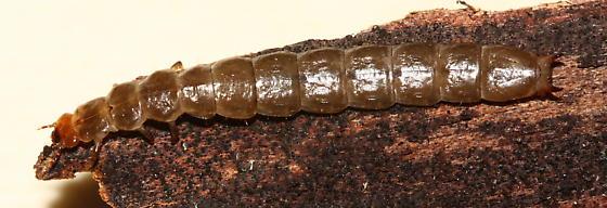 Conifer Bark Beetle larva