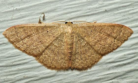 Unknown Geometrid - Pleuroprucha insulsaria - male
