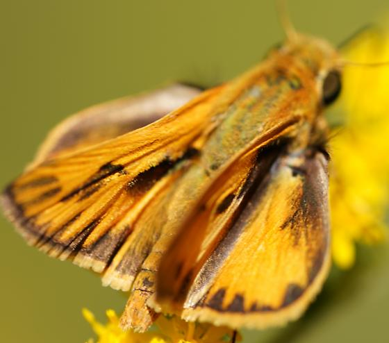 Fiery Skipper (Hylephila phyleus) Male - Hylephila phyleus - male