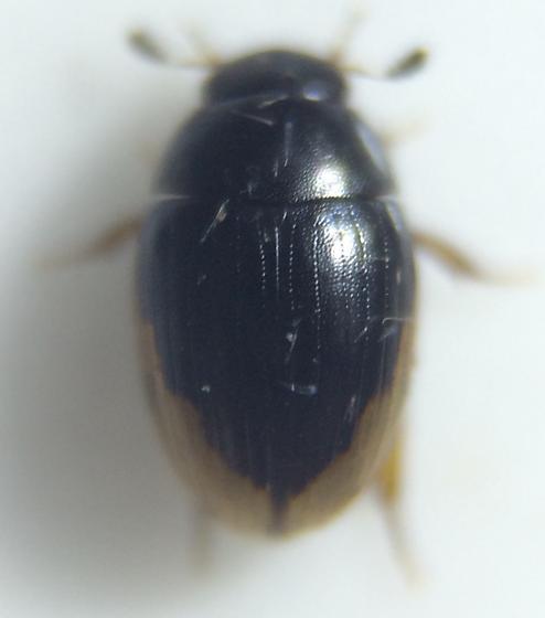 Cercyon - Cercyon praetextatus