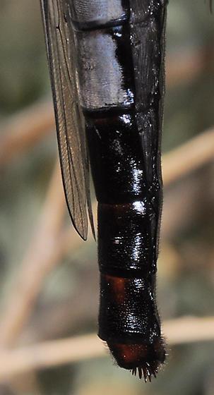 Microstylum galactodes - female