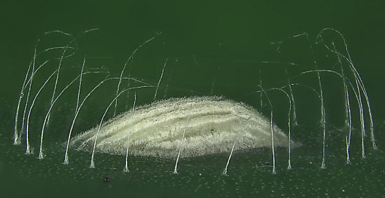 Unknown organism on top of a leaf of an elephant-ear plant - Bucculatrix