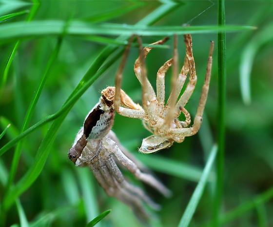 Nursery Web Spider Moulting? - Pisaurina mira