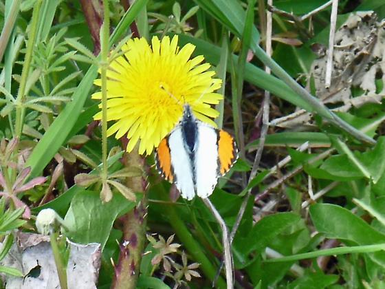 Sara Orangetip  Anthocharis sara - Anthocharis julia - male