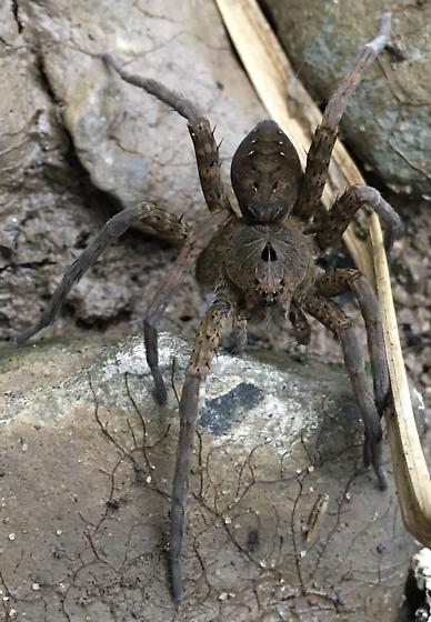 Banded Fishing Spider? - Dolomedes vittatus - female