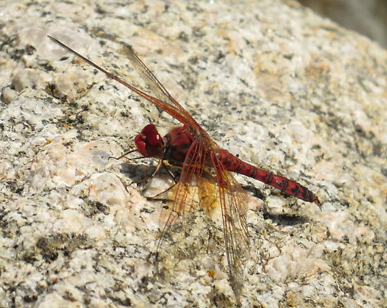 Red Rock Skimmer - Paltothemis lineatipes - male