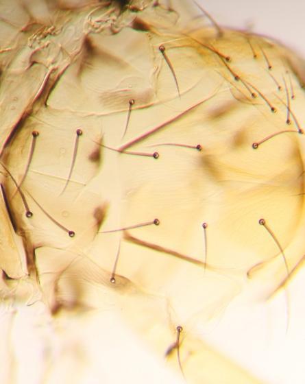 Trichogrammatidae - male