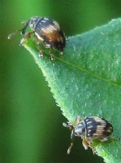 Tiny Weevils - Nanophyes marmoratus