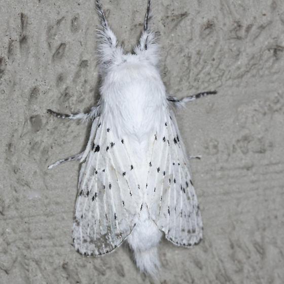 Dot-lined White Moth -  Hodges #7683 - Artace cribrarius