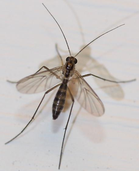 Sciaroidea - Macrocera - female