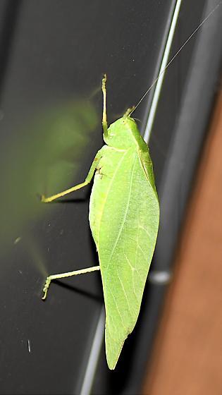 Katydid sp? - Microcentrum - male