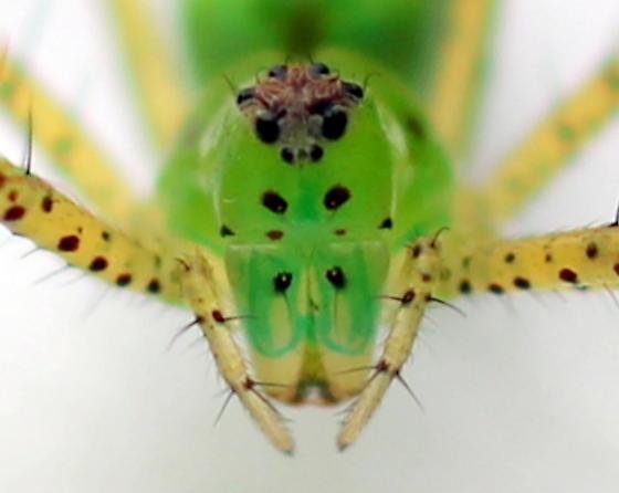 Green lynx  - Peucetia viridans