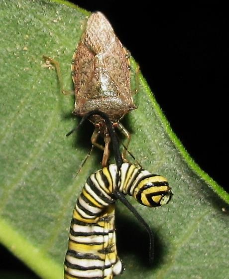 Bug eating monarch caterpillar - Podisus maculiventris