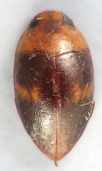 Noteridae - Suphisellus puncticollis - Suphisellus puncticollis