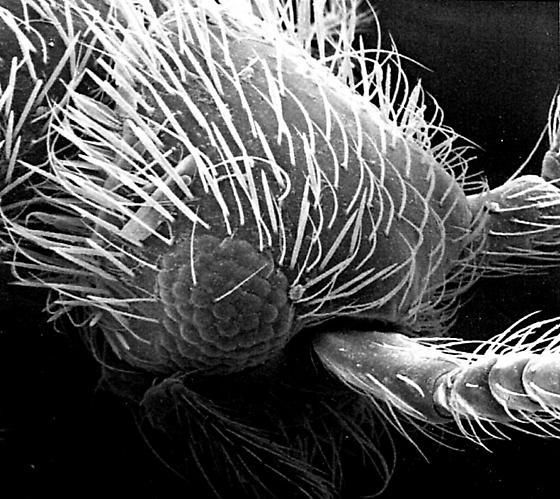 Ant-like stone beetle - Euconnus pecki