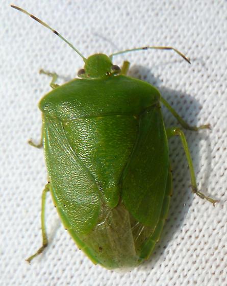 Green stink Bug?- Acrosternum hilare - Chinavia hilaris