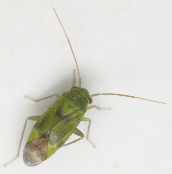 unknown mirid - Dichrooscytus