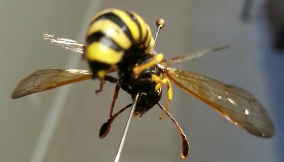 Genus Pseudomasaris - Pseudomasaris vespoides - male