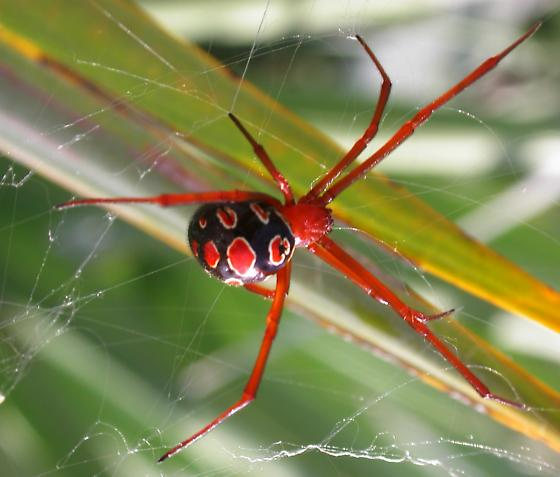 Image result for Red Widow spider