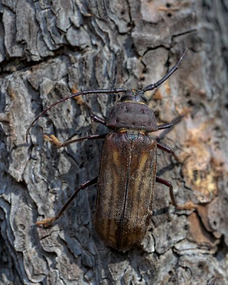 Ponderous Borer (Trichocnemis spiculatus) » Trichocnemis spiculatus neomexicanus - Trichocnemis spiculatus - male