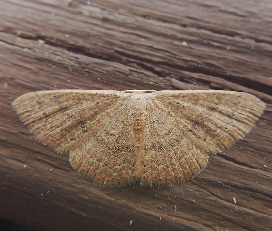 Pleuroprucha insulsaria