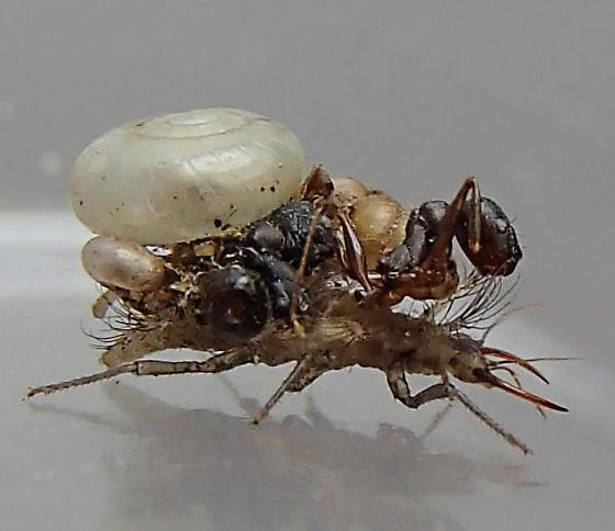 Debris-Carrying Larvae - Leucochrysa insularis