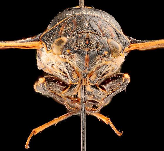 Cicada, male anterior - Okanagana hesperia - male