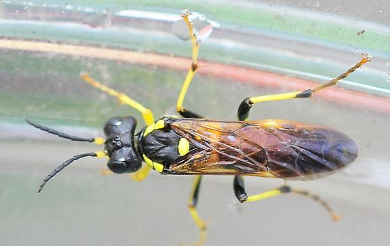 Apoid Wasps (Apoidea)- traditional Sphecidae