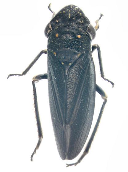 Cicadellidae, dorsal - Cuerna