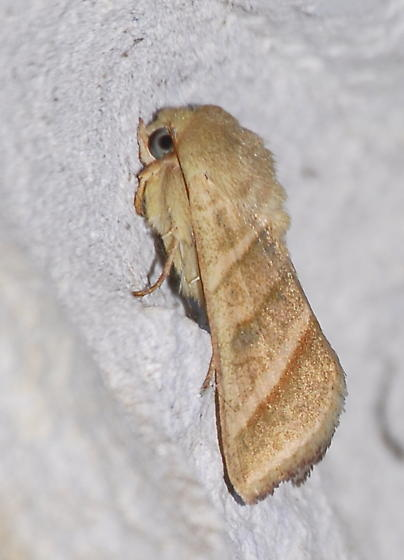 Please help us to identify this moth. - Chloridea virescens