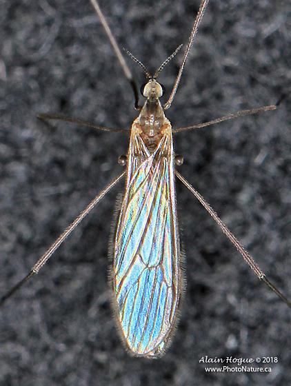 Limoniidae - Erioptera
