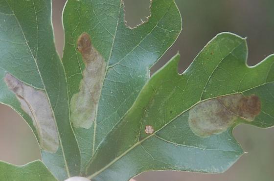 St. Andrews leaf miner on Quercus nigra SA1089 2017 1 - Cameraria quercivorella
