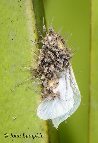 ID request  - Ormenaria rufifascia