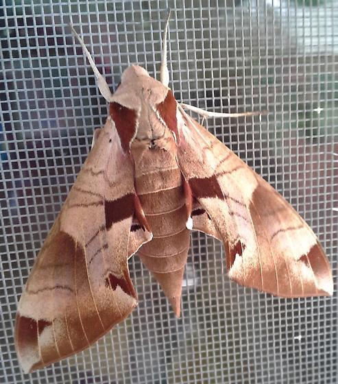 Achemon Sphinx - Hodges#7861 - Eumorpha achemon