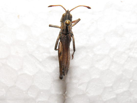 Clubhorned Grasshopper - Aeropedellus clavatus - male