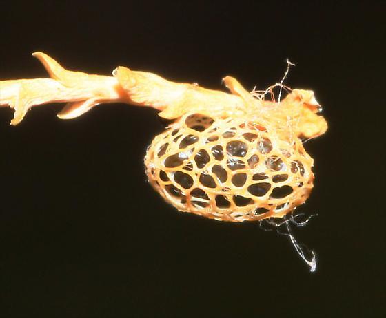 Larval enclosure of Weevil Beetle - Coniatus splendidulus