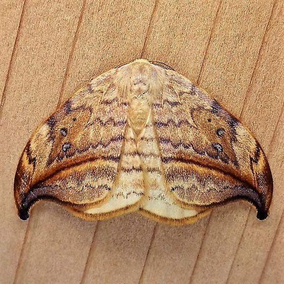 Drepranidae: Deprana arcuata - Drepana arcuata