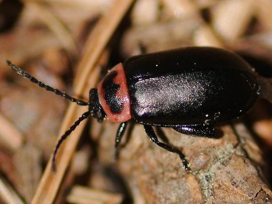 Massachusetts jumping beetle - Kuschelina vians