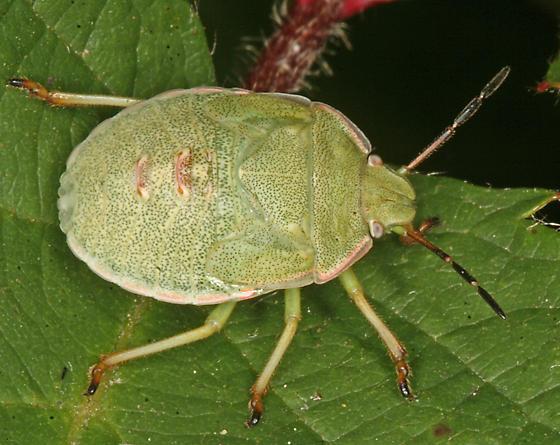 green stink bug nymph - Chlorochroa