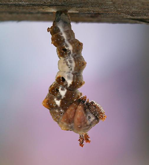 Larva getting ready to pupate - Limenitis arthemis