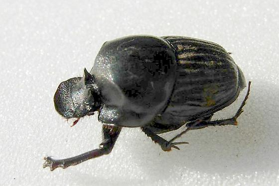 Which onthophagus - Onthophagus coproides