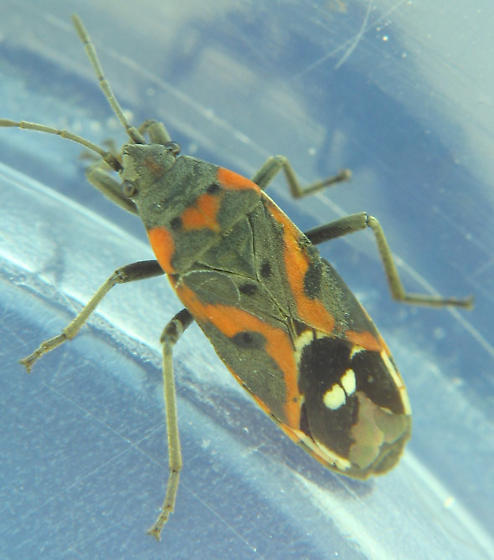 two-white-wing-dots bug - Lygaeus kalmii