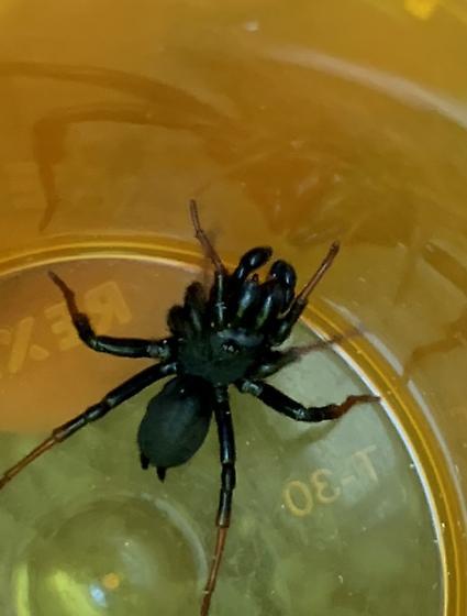 Purseweb Spider, Red Legged - Sphodros atlanticus - male