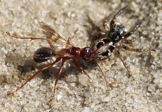 Spider vs Wasp - Anasaitis canosa