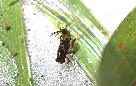 Serratella serratoides