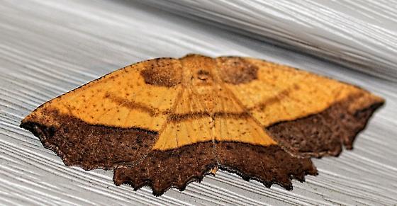 Saw-wing - Euchlaena serrata
